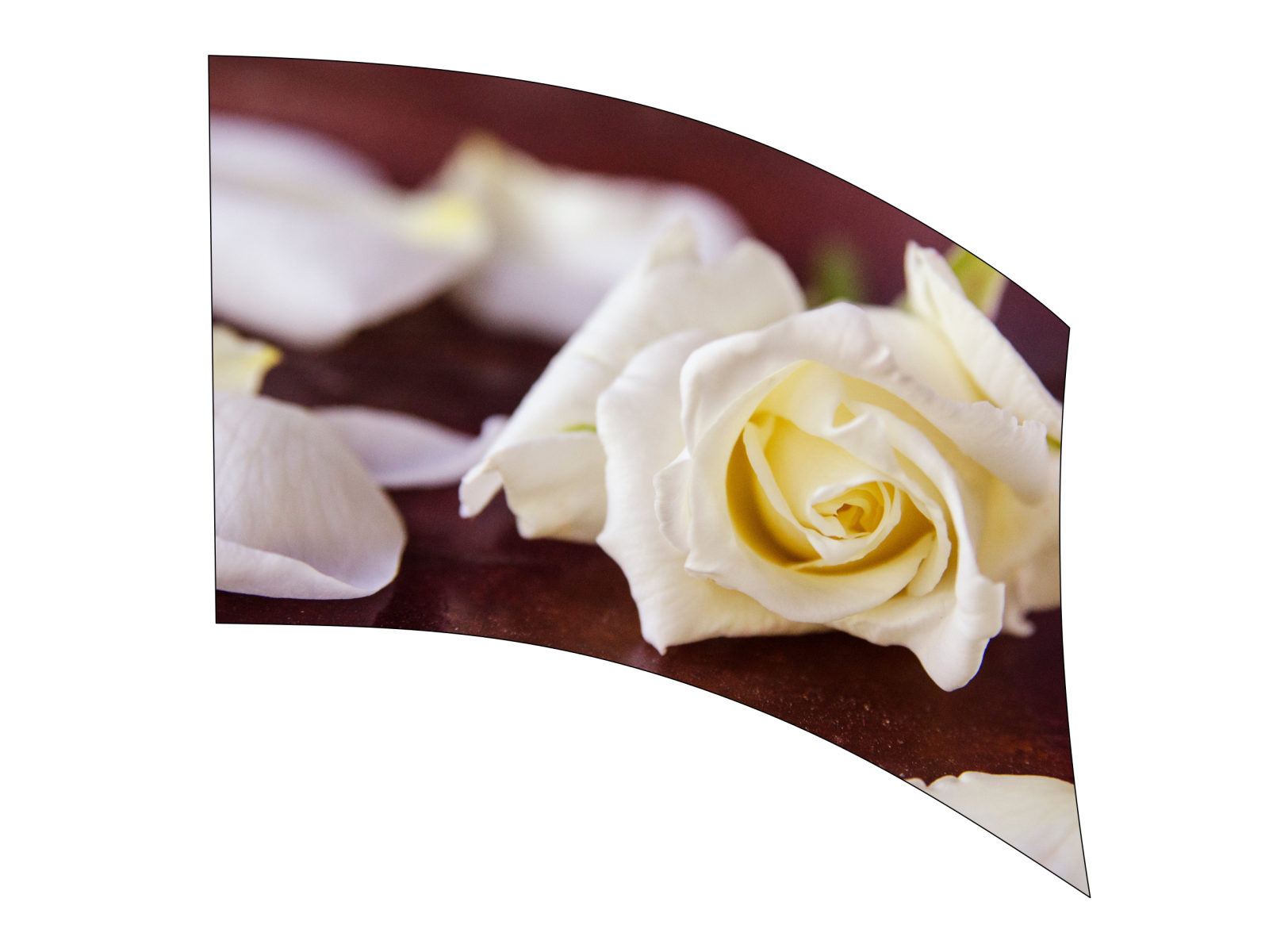 070210s - 36x52 Standard Cream Rose
