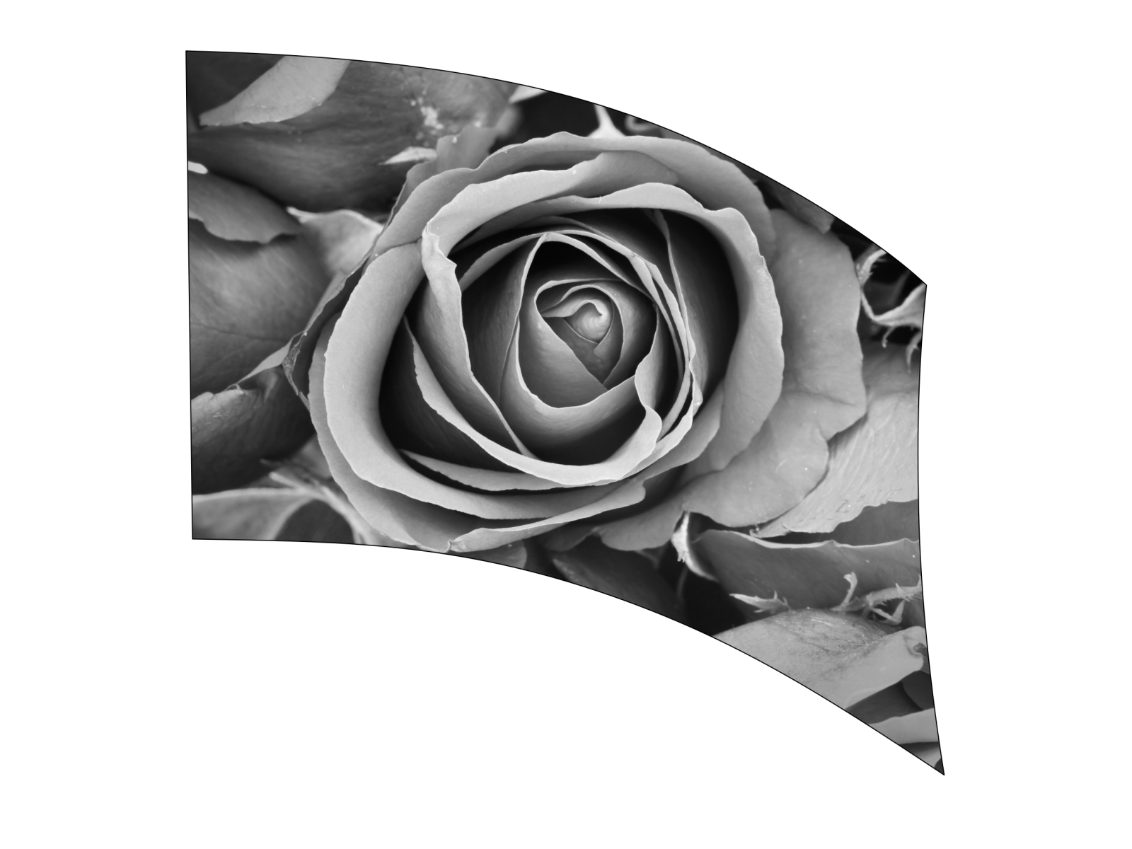 070204s - 36x52 Standard Black and White Rose